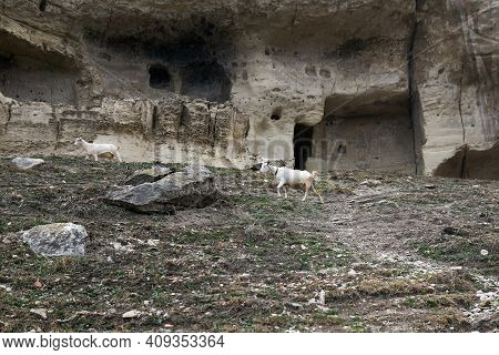 Goats Roam On A Hillside Under The Walls Of The Abandoned Medieval Cave Town