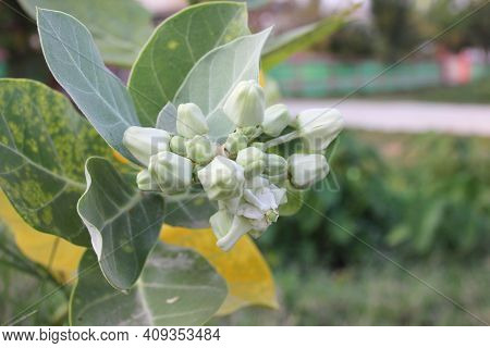Crown Flower, Giant Calotrope, Giant Milkweed, Swallow Wort, Calotropis Gigantea, Beautiful Flower B