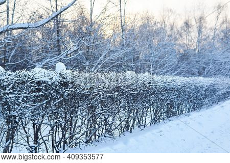 Snow-covered Bush Hedge In A Winter Park Against The Backdrop Of The Setting Sun