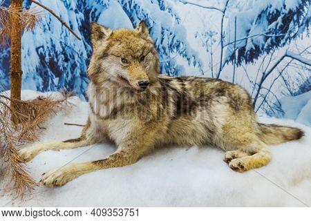 Stuffed wild wolf - animal background