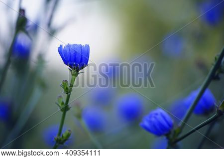 Cichorium. Blue Wildflowers, Natural Floral Background. Wild Chicory Flowers, Close-up, Blurred Back