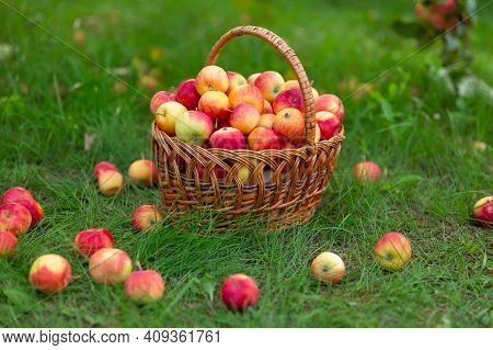 Wicker Basket With Apples Stands On Grass And Apples Are Scattered Around. Harvesting In Garden. Sid