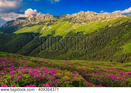 Beautiful Summer Nature Landscape, Spectacular Colorful Pink Rhododendron Mountain Flowers On The Hi