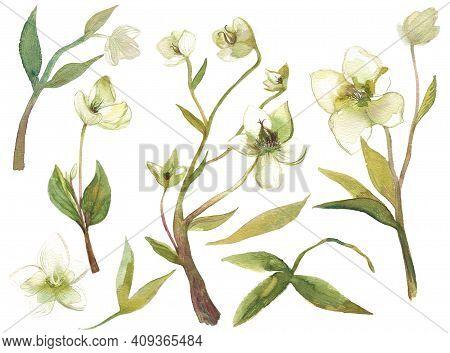 Hellebore Flowers Watercolor Set Of Illustrations. Hand Painted Heleborus Isoalted On White Backgrou