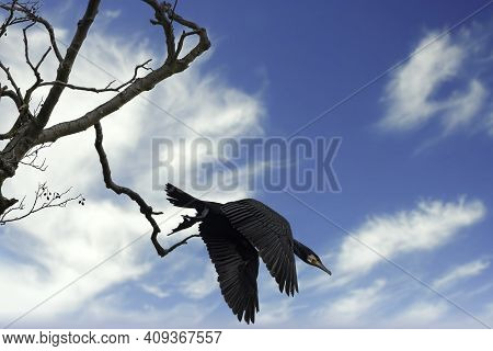 A Great Black Cormorant Sitting On A Tree At The Mönchbruch Natural Reserve Next To Frankfurt, Germa