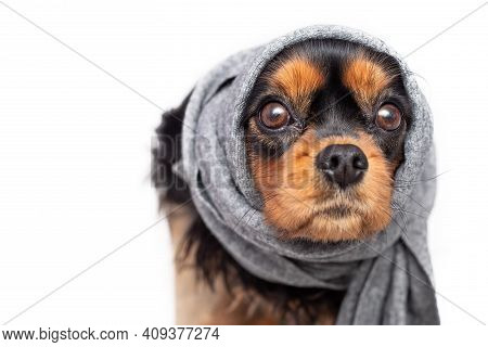 Sad Dog Cavalier King Charles Spaniel With Sore Ears. Ears Were Tied With Scarf. Concept Of Ear Infl