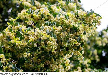 Linden Blossoms, Linden Flowers On A Tree In Sunny Weather, Linden - A Honey-bearing Medicinal Plant