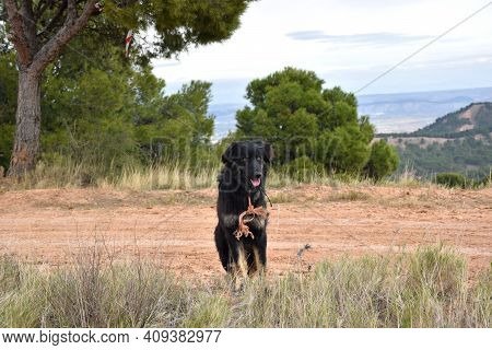 Sheepdog Of The Border Collie Breed Carefully Watching Over The Flock Of Sheep. District Of Los Agud