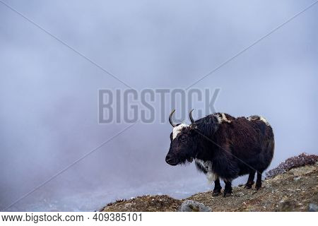 Yaks In Fog. Himalayan Mountains. Nepal, Everest Region