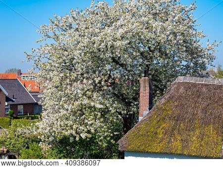 Old White House With Reed Roof And Brick Chimney In Fruit Orchard With Blossoming Of Cherry Tree Alo