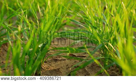 Green Juicy Sprouts Of Winter Cereals Close-up In The Rays Of The Setting Sun. Cereals In An Agricul