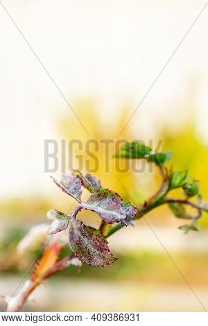 Powdery Mildew On A Rose. A Rose Plant Affected By A Fungal Disease. Copy Space, Selective Focus