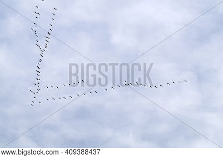 Common Cranes In Flight Formation At Passage Of Birds. Annual Fall Migration