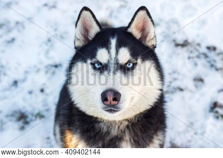 Muzzle Of Siberian Husky Dog On Snow Background On Bright Sunny Day. Siberian Husky Dog Black And Wh