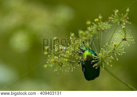 Large Beetle Golden Bronze. May Beetle On White Flower On Green Grass Background. Cetonia Aurata Is