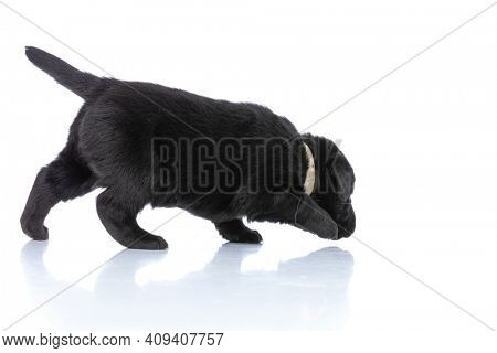 curious adorable labrador retriever puppy with collar looking around, sniffing and exploring on white background in studio