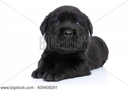 curious small labrador retriever puppy laying down, looking up and posing on white background in studio