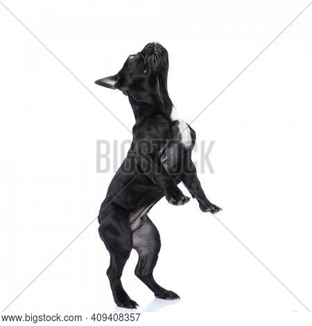 side view of curious little puppy back leg standing and curiously looking up on white background in studio