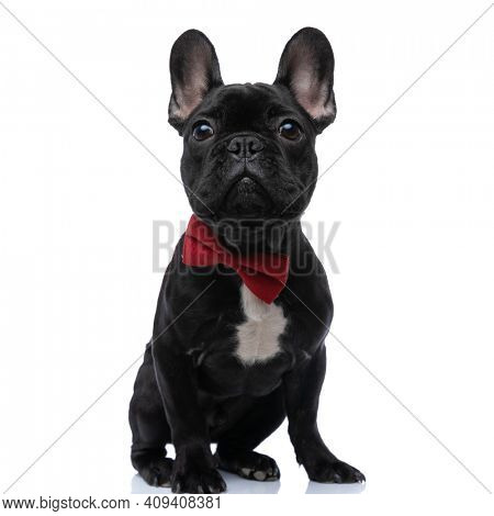 elegant baby french bulldog pup wearing bowtie, looking up, being adorable in studio and sitting isolated on white background