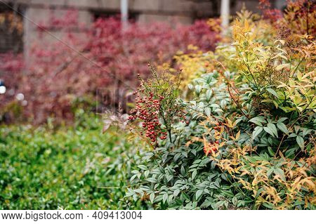 Nandina Bush With Red Berries In A Clearing By The Wall.