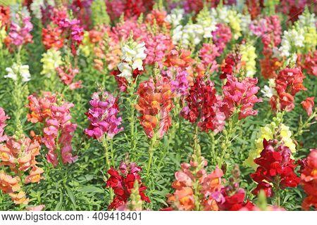 Antirrhinum Flower Closeup, Snapdragon Flower In The Garden