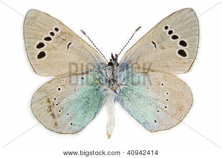 Glaucopsyche Alexis (green-underside Blue)