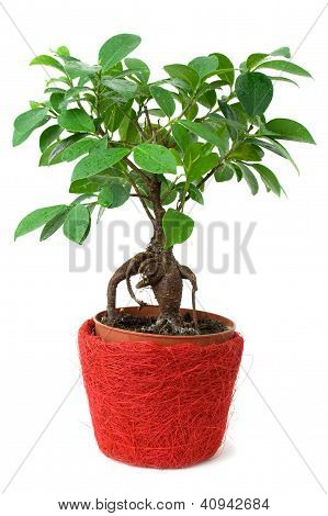 Ficus in a red-brown pot isolated on white