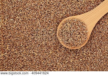 Organic emmer farro wheat grain in a wooden spoon and forming a background. High in antioxidants and  a highly nutritious food source and an early premium spring wheat. Flat lay, top view.