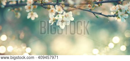 Spring blossom background. Beautiful nature scene with blooming tree and sun flare. Sunny day. Spring flowers. Beautiful Orchard. Abstract blurred background. Cherry or sakura blossoms. Springtime.