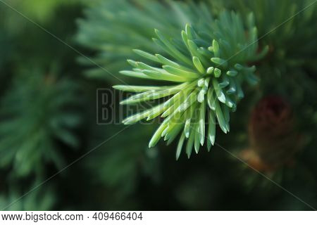 Spruce Branch. Beautiful Branch Of Spruce With Needles. Green Spruce. Spruce Close Up. Evergreen Tre