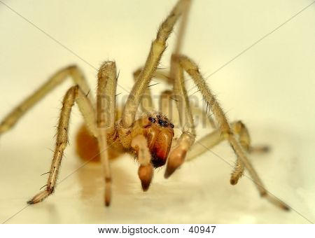 Closeup Of A Household Spider