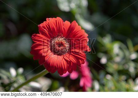 gerbera daisy flower - Barberton daisy, Transvaal daisy, Gerbera jamesonii.