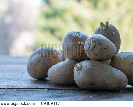 Sprouted Potatoes On A Wooden Table In The Garden. Preparing Potatoes For Planting. Planting Potatoe