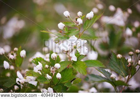 Beautiful Plants In Spring Bloom Fruit Garden. Blackberry Bush With White Flowers. Flowering Primoca