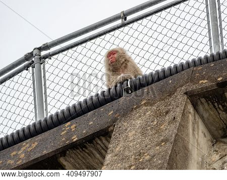 A Japanese Macaque, Macaca Fuscata, Sits On A Concrete Wall In Yudanaka Village Near Jigokudani Monk