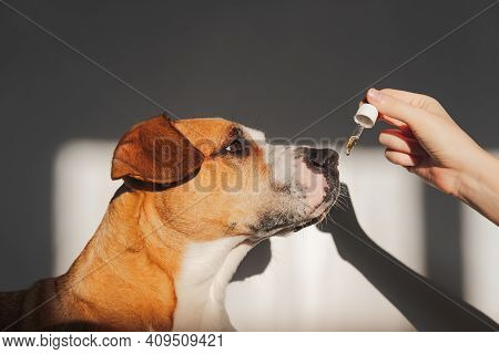 Dog Taking Essential Oil From Dropper. Nutritional Supplements, Calming Products, Cbd Or Thd Oils Fo
