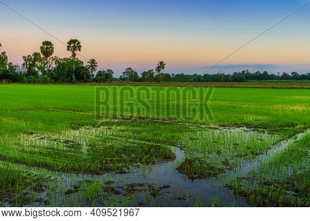 Beautiful Green Field Cornfield Or Corn In Asia Country Agriculture Harvest With Sunset Sky Backgrou