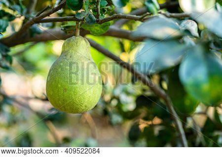 Close Up Of Green Grapefruit Grow On The Grapefruit Tree In A Garden Background  Harvest Citrus Frui