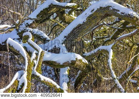 Some Boughs Partly Covered With Snow At Winter Time In Sunny Ambiance