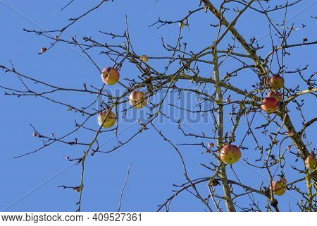 Some Sunny Illuminated Boughs With Apples Hanging On At Winter Time In Front Of Blue Sky