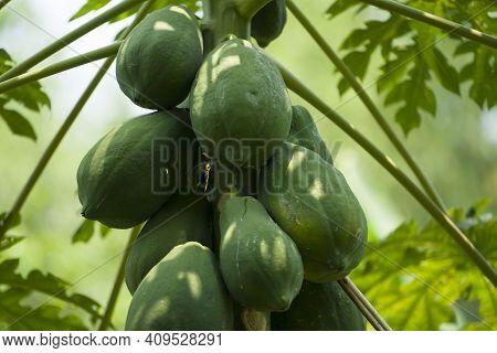 Photo Close Up Of Papaya Tree With Green Fruits. Nature Fresh Green Papaya On Tree With Fruits In Na