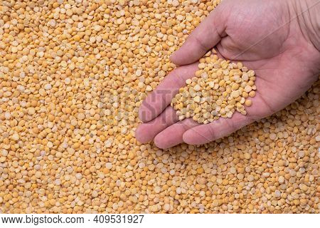 A Man Holds Dry Peas In His Hand. Background From Dry Yellow Peas.