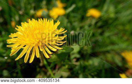 Yellow Dandelion Flowers (taraxacum Officinale). Dandelions Field Background On Spring Sunny Day. Bl