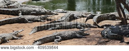 African Or Nile Crocodiles Bask In The Sun On The Banks Of The Zambezi River.