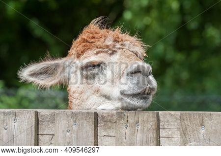 Closeup Headshot Of A Sleepy Alpaca With Its Head On A Paddock Fence
