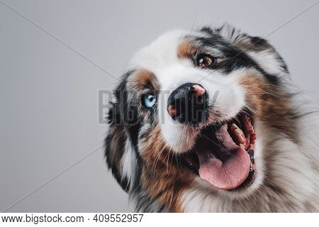 Headshot Of Australian Breed Dog With Brown And Blue Eyes In White Background. Best Humans Friend.