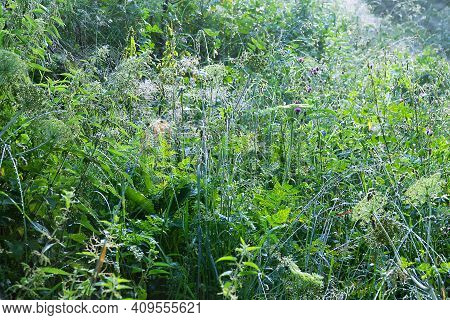 Magnificence Of Living Mountain Meadows. Green Grass Leaves With Drops Of Dew Like A Scattering Of P
