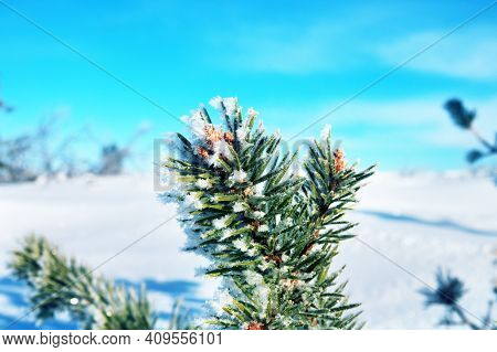 Frost-covered And Frozen Tree On A High Plateau In Scandinavia. Firs And Pines On A Sunny Frosty Day