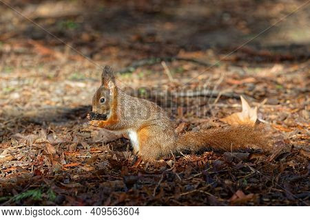 A Red Squirrel Eats On The Ground. Red Squirrels Occupy Boreal, Coniferous Woods. In Western And Sou