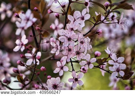 View Of Flowering Pretty In Pink Bird Cherry Tree In The Spring Garden. Photography Of Lively Nature